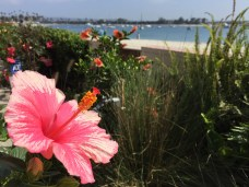 South Mission Beach Flowers Summer 2017