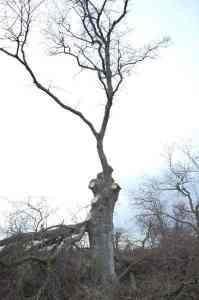 chêne ébranché