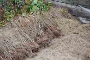 plants-racines-nues