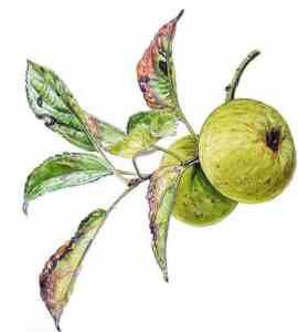 pomme de meunier anjou