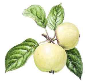 madeleine blanche pomme anjou