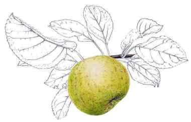 reinette clochard pomme anjou