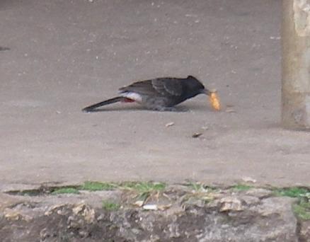 66. A Red Vented Bulbul bird in Tonga
