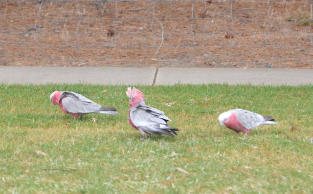 137. A few wild gullah birds are on a lawn in Wonthaggi, Victoria, Australia, December 2015