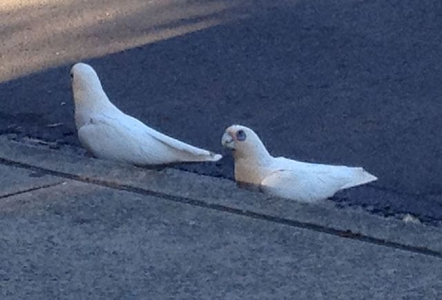 28. Birds - Two cockatoos drinking rain water in a gutter in Mona Vale, Australia, November 2015