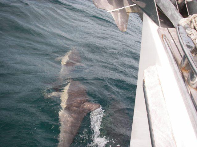 44. Dolphins race around Joyful's bows