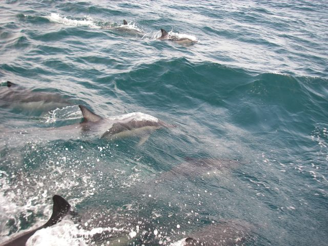 49. Joyful had lots of dolphin friends