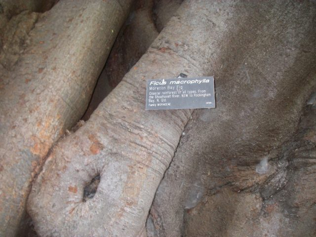 51.2.2.1 This is a Moreton Bay Fig tree of Australia. Take a look at the extraordinary root system and trunk! copy