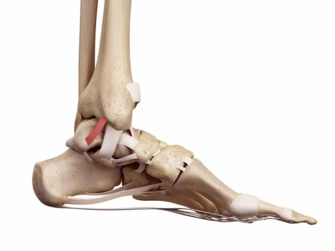 Ankle ligaments can restrict mobility.