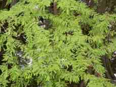 The Cypress has needle like foliage.