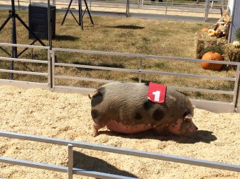 A pig finishes last in a race at the Mississippi State Fair