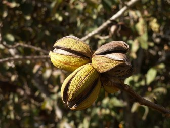 Dry weather has been hard on the state's pecan harvest.