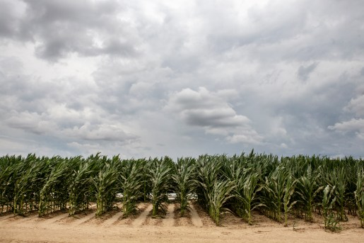 A corn field that survived flooding in Tula, Miss. About 220,000 acres of farmland were flooded in the Mississippi Delta earlier this year.