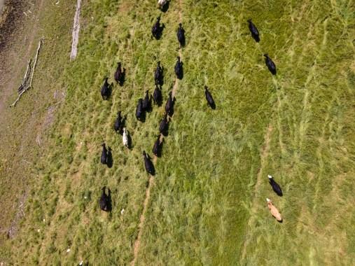 Levee Cows — 2020
