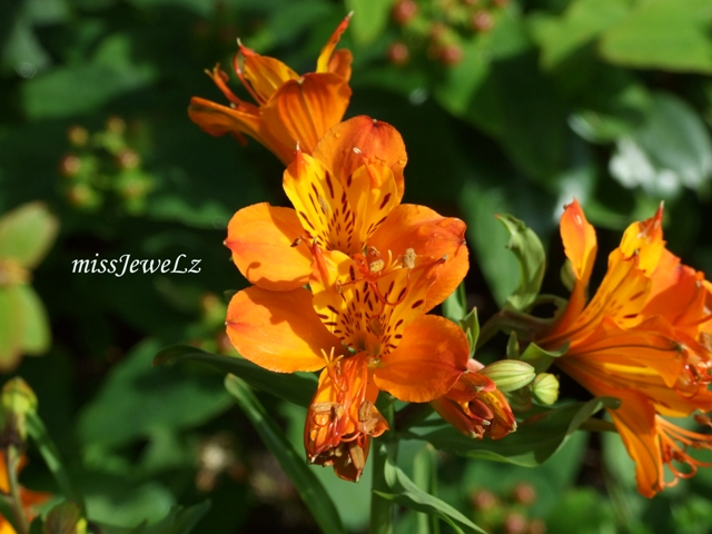 I call this the 'Orange Beauty'..ya, I suck with flower names..Luv dis pic.