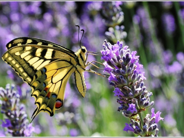 papillon machaon sur lavande fei