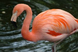 pink flamingo, flamingo