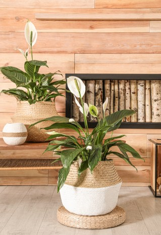Peace Lilyor scientifically name Spathiphyllum