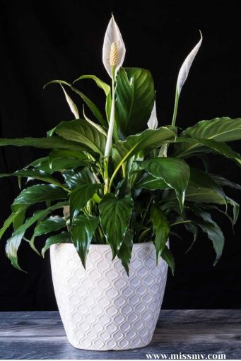 Peace Lily tops the list of best plants to reduce indoor humidity, and the best thing is that it requires less care.