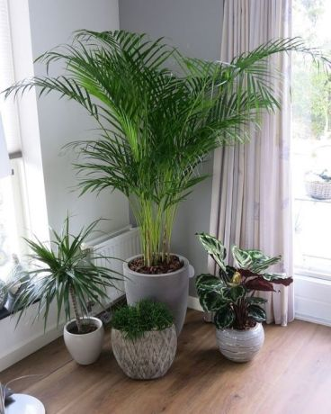 Reed Palm plant that absorb indoor moisture effective by missmv.com