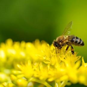 Honey Bee FAQs