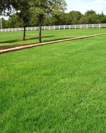 Riviera Bermudagrass