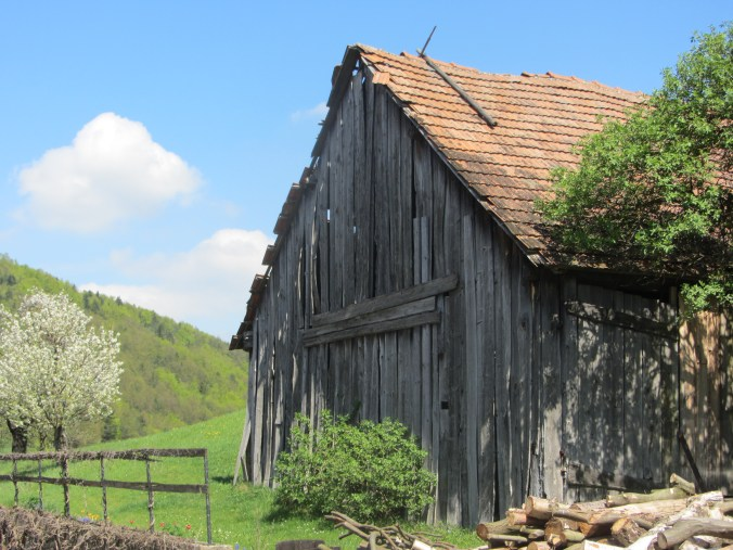 Old barn with blossoming cherry trees