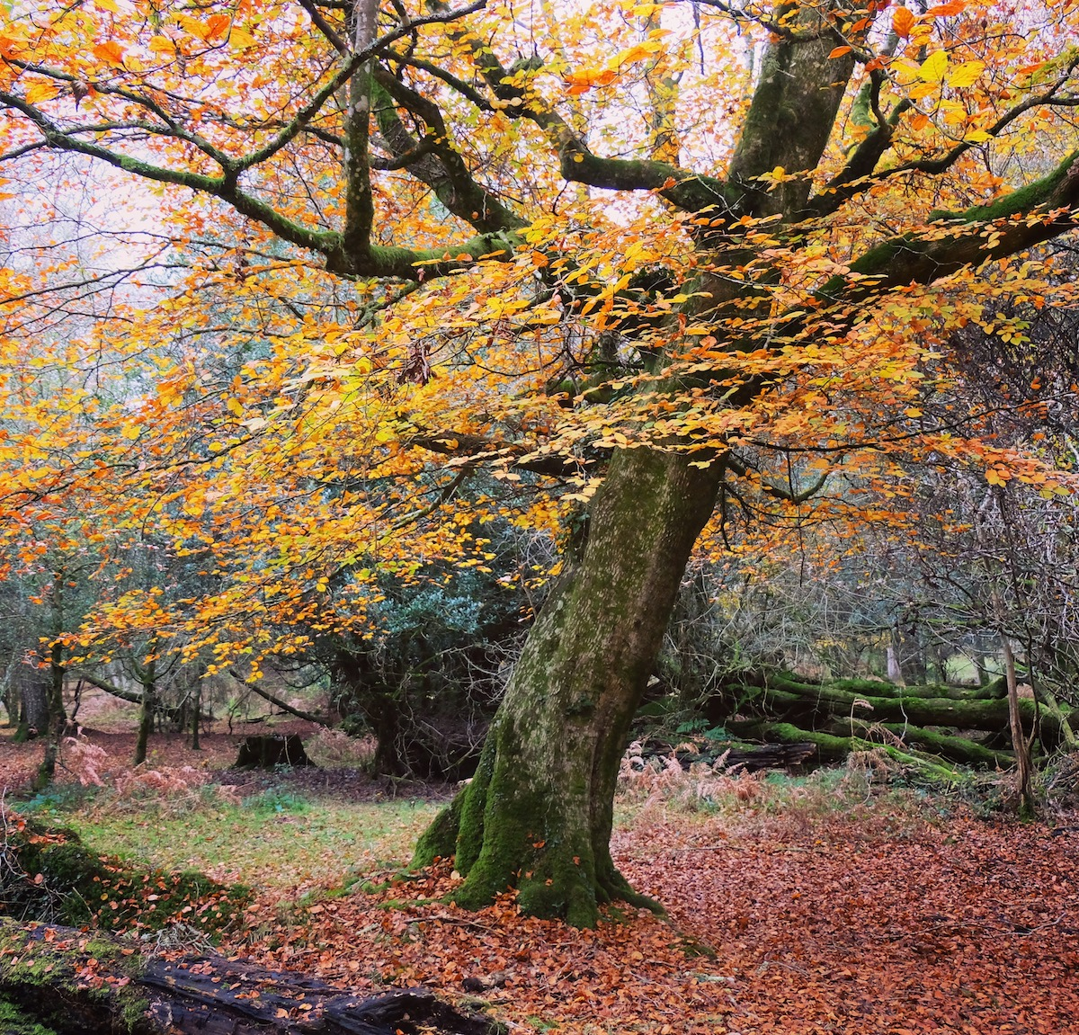 Autumn Leaves in New Forest