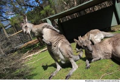 KKDAY 墨爾本自由行 melbourne gowesttours kkDAY墨爾本 墨爾本企鵝 澳洲自助 墨爾本自助 菲利浦島 菲利浦島交通 墨爾本必去 墨爾本酒莊 月光野生動物 Nobbies 墨爾本企鵝歸巢 墨爾本一日遊 菲利普島一日遊,小企鵝歸巢遊行63