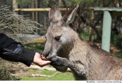 KKDAY 墨爾本自由行 melbourne gowesttours kkDAY墨爾本 墨爾本企鵝 澳洲自助 墨爾本自助 菲利浦島 菲利浦島交通 墨爾本必去 墨爾本酒莊 月光野生動物 Nobbies 墨爾本企鵝歸巢 墨爾本一日遊 菲利普島一日遊,小企鵝歸巢遊行64