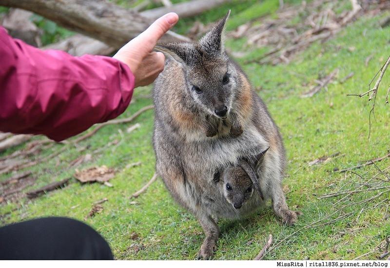 KKDAY 墨爾本自由行 melbourne gowesttours kkDAY墨爾本 墨爾本企鵝 澳洲自助 墨爾本自助 菲利浦島 菲利浦島交通 墨爾本必去 墨爾本酒莊 月光野生動物 Nobbies 墨爾本企鵝歸巢 墨爾本一日遊 菲利普島一日遊,小企鵝歸巢遊行50