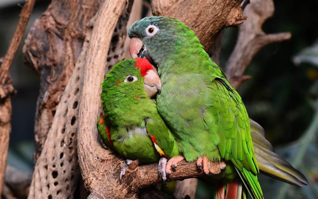 Especies de aves como animales de compañía