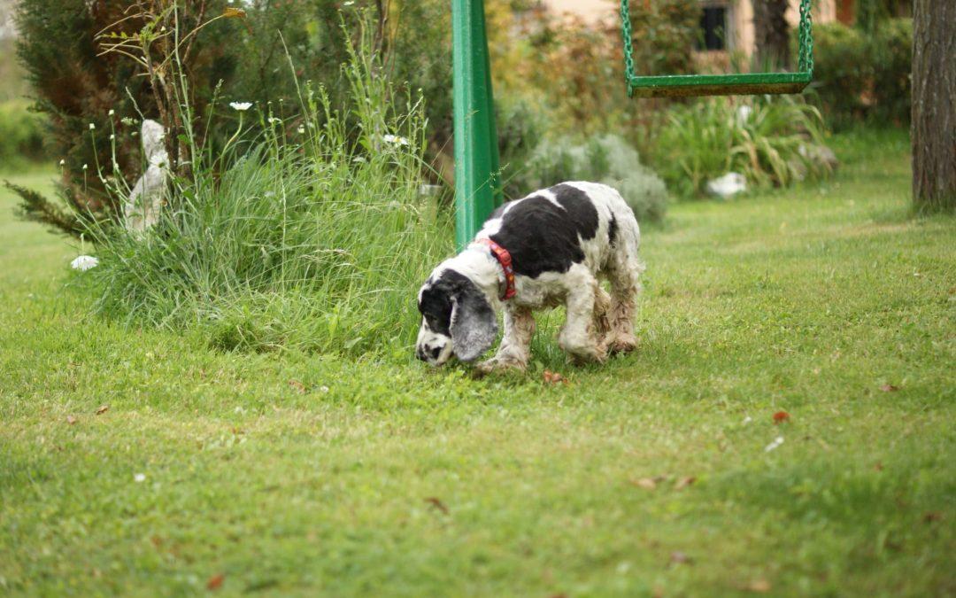 La coprofagia: una preocupación para los dueños de animales
