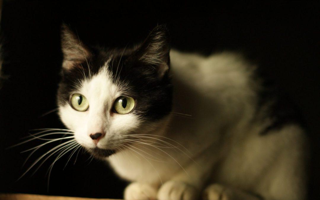 Las bolas de pelo o tricobezoares en gatos