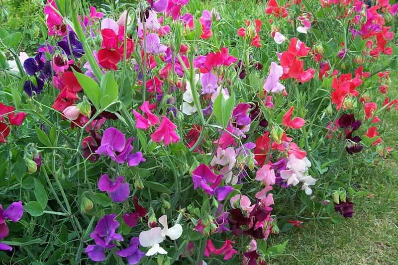 Душистый горошек многолетний выращивание из семян. Выращивание горошка душистого из семян: красота, удовольствие, польза
