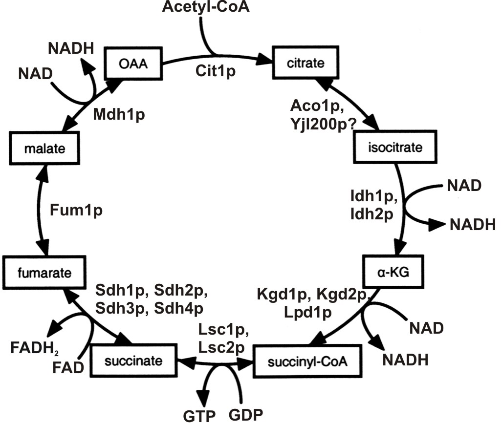 Citric Acid Cycle Diagram Complete