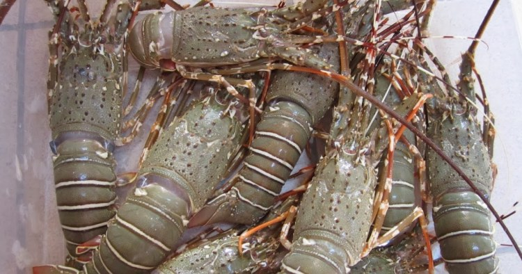 Lobster Asal Aceh