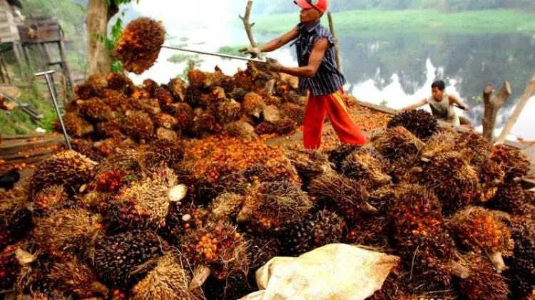 Undername Karantina Perminyakan - CPO Kelapa Sawit