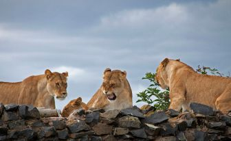 This angry lioness is assuming the other lioness is encroaching on her territory and will somehow keep her from getting her needs met. (photo by Tony Hisgett, Birmingham, UK, CC BY 2.0)
