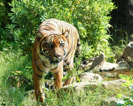 pacing tiger
