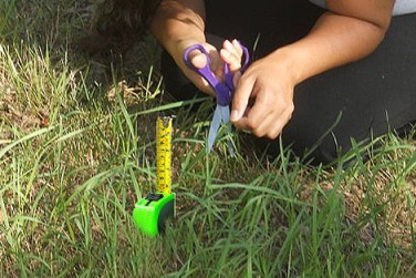 measuring and cutting grass with scissors