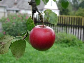 red apple hanging from branch