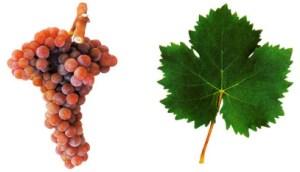 Portuguese Grapes Moscatel