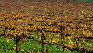 Vinho Verde Vineyard