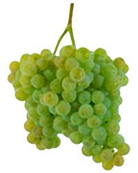Alvarinho Grapes