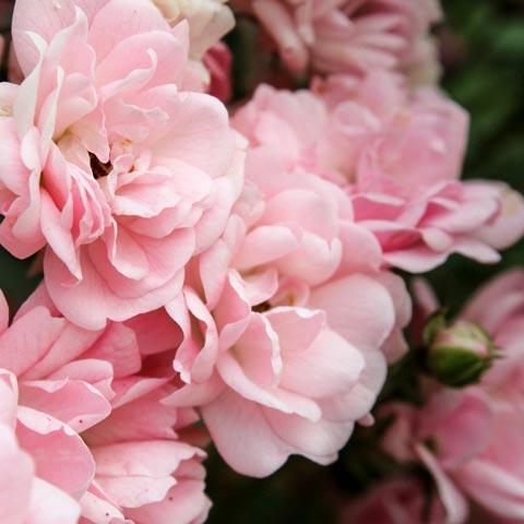 bulgarian pink rose