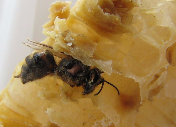 Honey dead from unknown poisoning