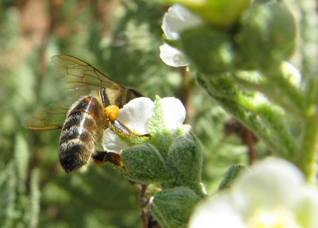 Gathering pollen from the fernbush