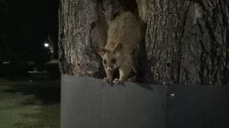 駅チカ!オーストラリアの珍獣ポッサムに99%出会える公園