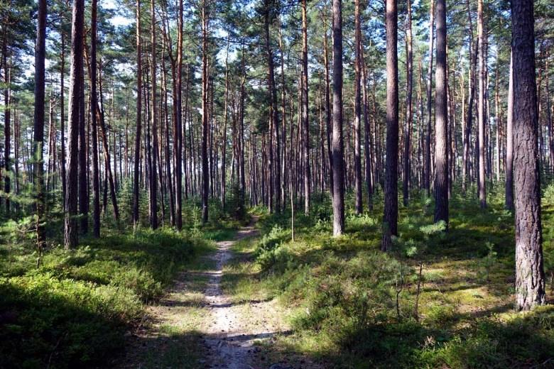 Für Mittelfranken typische Kiefernwälder auf dem Weinberg in Roth